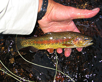 Glowing golden trout